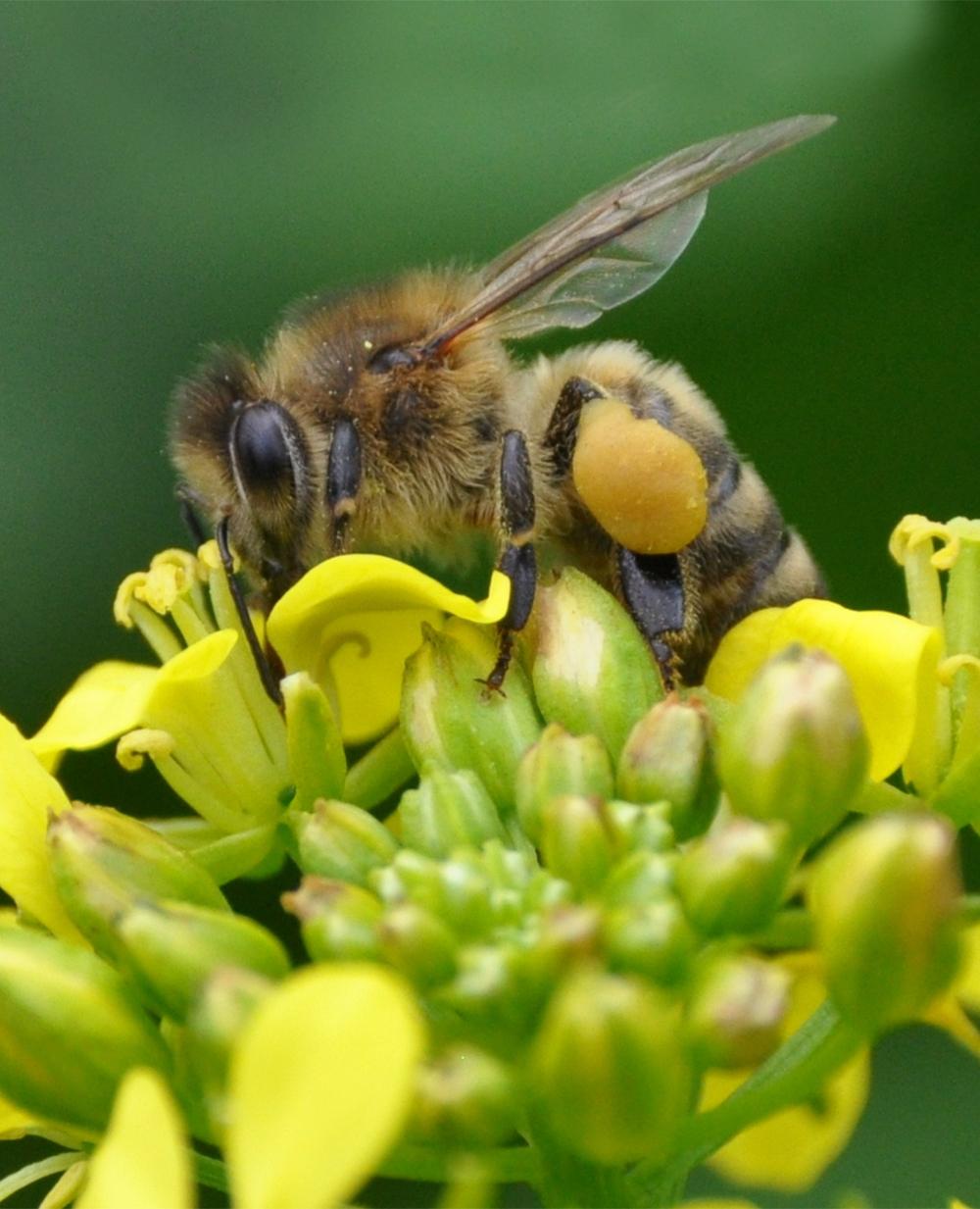 Biene auf Senfblüten