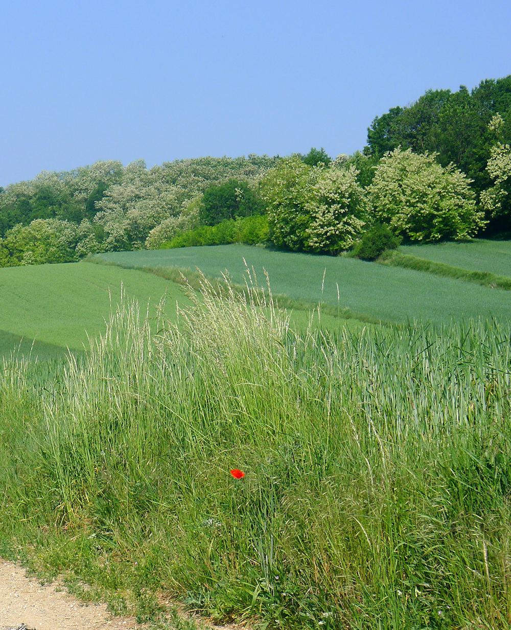 grüne Wiese vor blühenden Akazienbäumen