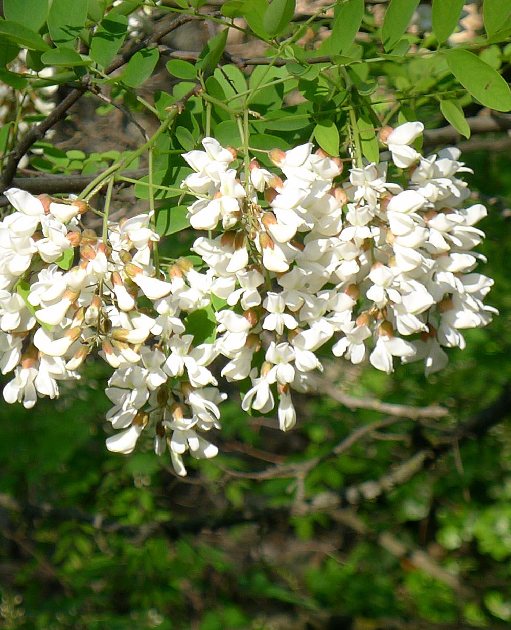 Akazienblüten für Bio-Akazienhonig DIE HELLE FREUDE